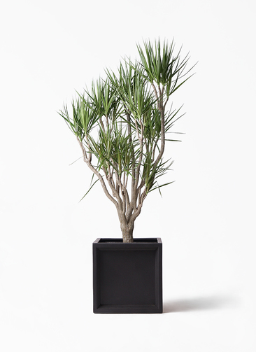 観葉植物 ドラセナ コンシンネ 10号 一本立ち ブリティッシュキューブ 付き