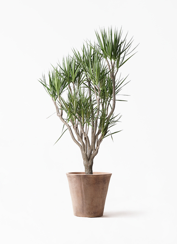 観葉植物 ドラセナ コンシンネ 10号 一本立ち ルーガ アンティコ ソリッド 付き