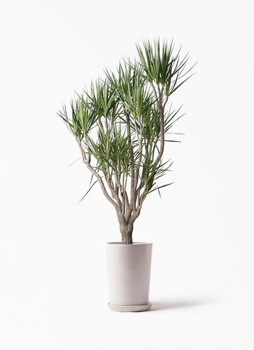 観葉植物 ドラセナ コンシンネ 10号 一本立ち LOラウンド 付き