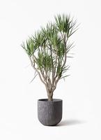 観葉植物 ドラセナ コンシンネ 10号 一本立ち カルディナダークグレイ 付き