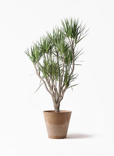 観葉植物 ドラセナ コンシンネ 10号 一本立ち アートストーン ラウンド ベージュ 付き