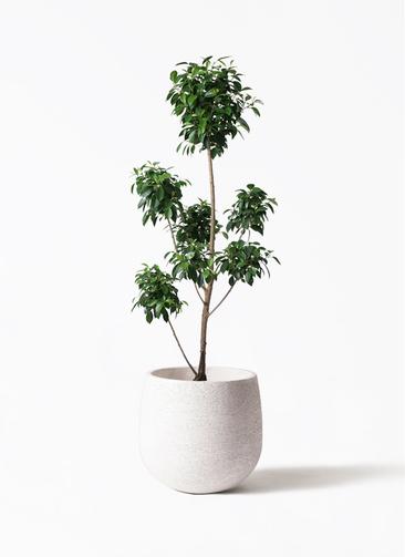 観葉植物 フィカス ナナ 7号 ボサチラシ エコストーンwhite 付き