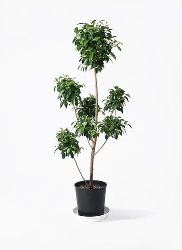観葉植物 フィカス ナナ 7号 ボサチラシ プラスチック鉢