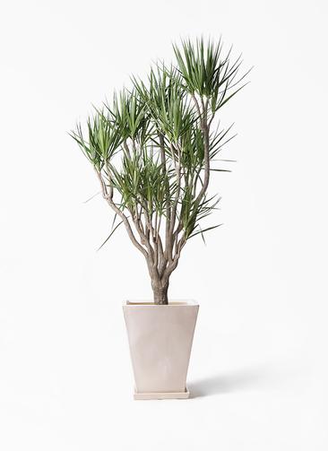 観葉植物 ドラセナ コンシンネ 10号 一本立ち スクエアハット 白 付き