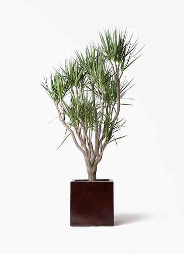 観葉植物 ドラセナ コンシンネ 10号 一本立ち MOKU キューブ 付き