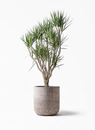 観葉植物 ドラセナ コンシンネ 10号 一本立ち エルバ 白 付き