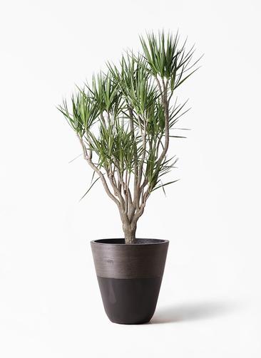 観葉植物 ドラセナ コンシンネ 10号 一本立ち ジュピター 黒 付き