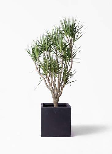 観葉植物 ドラセナ コンシンネ 10号 一本立ち ベータ キューブプランター 黒 付き