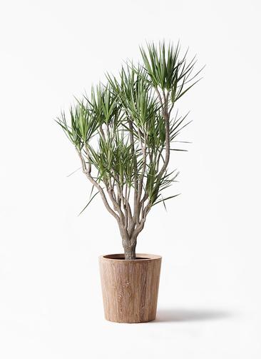 観葉植物 ドラセナ コンシンネ 10号 一本立ち ウッドプランター 付き