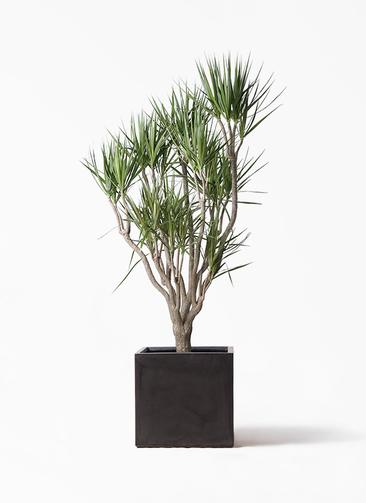 観葉植物 ドラセナ コンシンネ 10号 一本立ち ファイバークレイ キューブ 付き