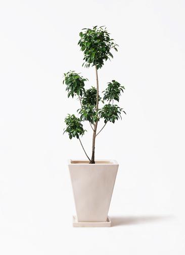 観葉植物 フィカス ナナ 7号 ボサチラシ スクエアハット 白 付き