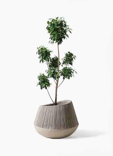 観葉植物 フィカス ナナ 7号 ボサチラシ エディラウンド グレイ 付き