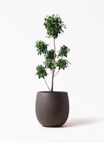 観葉植物 フィカス ナナ 7号 ボサチラシ テラニアス バルーン アンティークブラウン 付き
