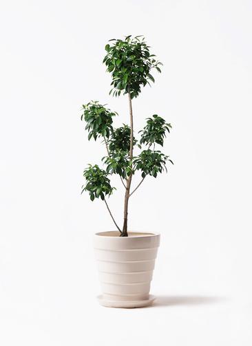 観葉植物 フィカス ナナ 7号 ボサチラシ サバトリア 白 付き