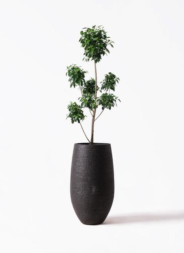 観葉植物 フィカス ナナ 7号 ボサチラシ フォンティーヌトール 黒 付き