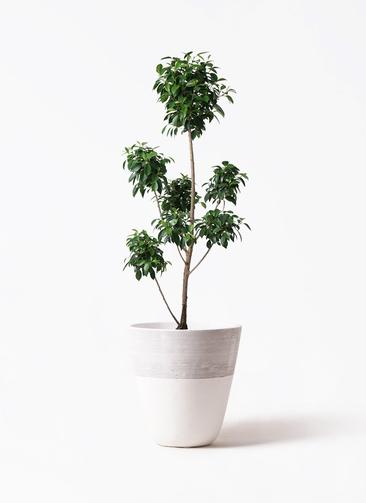 観葉植物 フィカス ナナ 7号 ボサチラシ ジュピター 白 付き