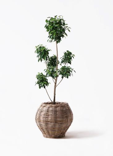 観葉植物 フィカス ナナ 7号 ボサチラシ グレイラタン 付き