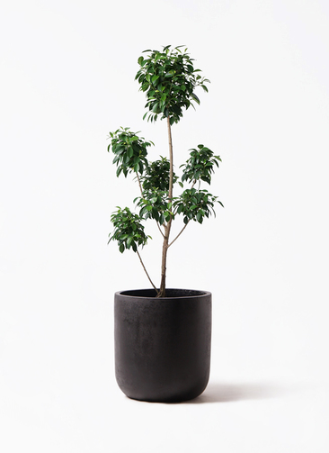 観葉植物 フィカス ナナ 7号 ボサチラシ エルバ 黒 付き