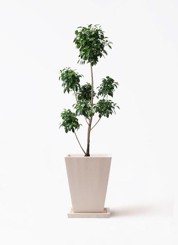 観葉植物 フィカス ナナ 7号 ボサチラシ パウダーストーン 白 付き