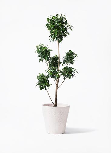 観葉植物 フィカス ナナ 7号 ボサチラシ フォリオソリッド 白 付き