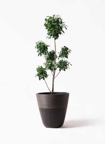 観葉植物 フィカス ナナ 7号 ボサチラシ ジュピター 黒 付き