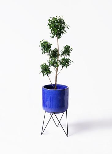 観葉植物 フィカス ナナ 7号 ボサチラシ ビトロ エンデカ 鉢カバースタンド付 ブルー 付き