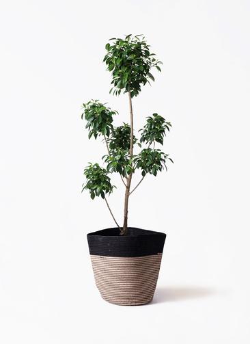 観葉植物 フィカス ナナ 7号 ボサチラシ リブバスケットNatural and Black 付き