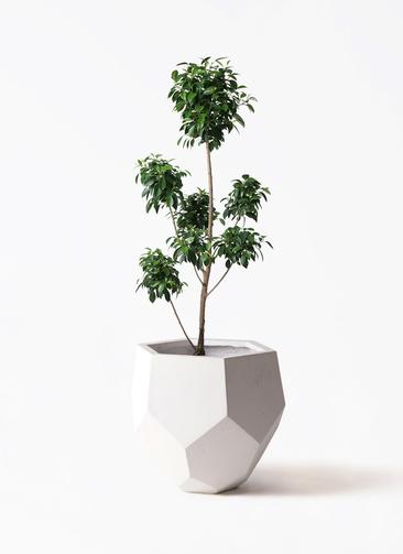 観葉植物 フィカス ナナ 7号 ボサチラシ ポリゴヘクサ 白 付き