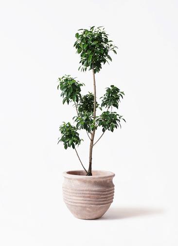 観葉植物 フィカス ナナ 7号 ボサチラシ テラアストラ リゲル 赤茶色 付き