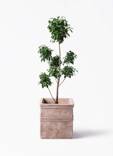 観葉植物 フィカス ナナ 7号 ボサチラシ テラアストラ カペラキュビ 赤茶色 付き
