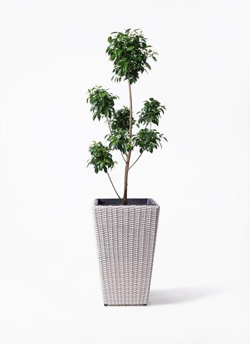 観葉植物 フィカス ナナ 7号 ボサチラシ ウィッカーポット スクエアロング OT 白 付き