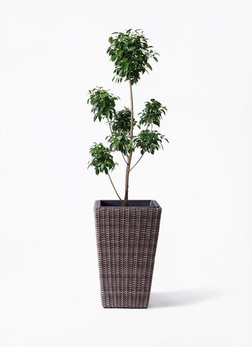 観葉植物 フィカス ナナ 7号 ボサチラシ ウィッカーポット スクエアロング OT 茶 付き