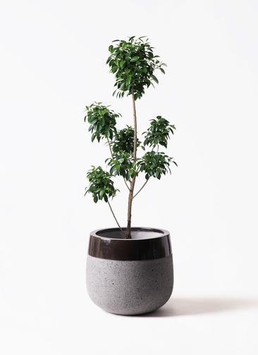 観葉植物 フィカス ナナ 7号 ボサチラシ ファイバーストーンタウルス 黒 付き