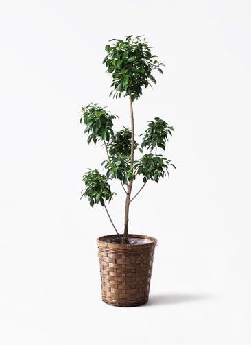 観葉植物 フィカス ナナ 7号 ボサチラシ 竹バスケット 付き