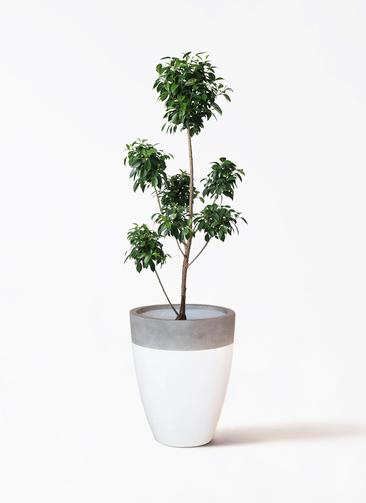 観葉植物 フィカス ナナ 7号 ボサチラシ ファイバーストーンカプリ 白 付き