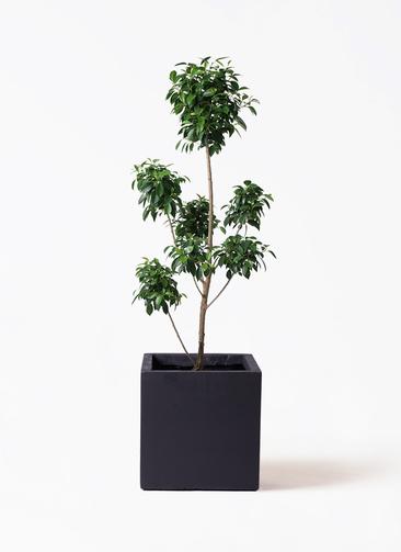 観葉植物 フィカス ナナ 7号 ボサチラシ ベータ キューブプランター 黒 付き