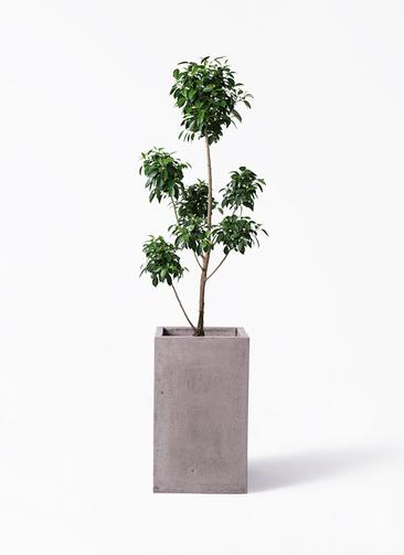 観葉植物 フィカス ナナ 7号 ボサチラシ セドナロング グレイ 付き