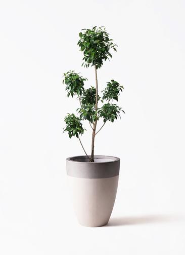 観葉植物 フィカス ナナ 7号 ボサチラシ ファイバーストーンカプリ サンディホワイト 付き