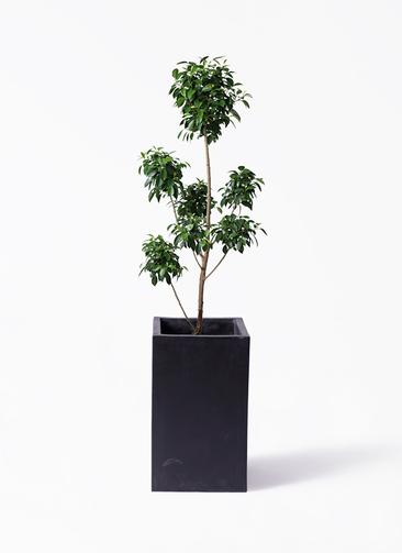 観葉植物 フィカス ナナ 7号 ボサチラシ セドナロング 墨 付き