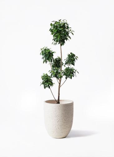 観葉植物 フィカス ナナ 7号 ボサチラシ ビアスアルトエッグ 白 付き