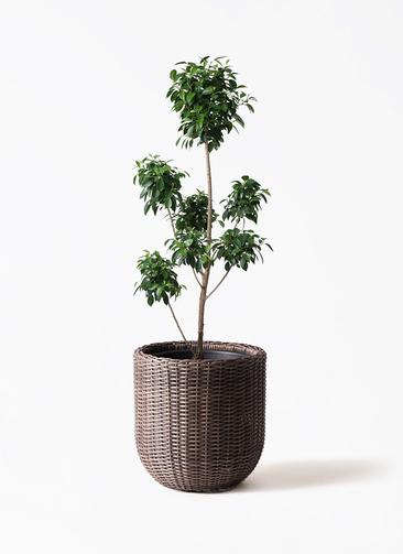 観葉植物 フィカス ナナ 7号 ボサチラシ ウィッカーポットエッグ 茶 付き