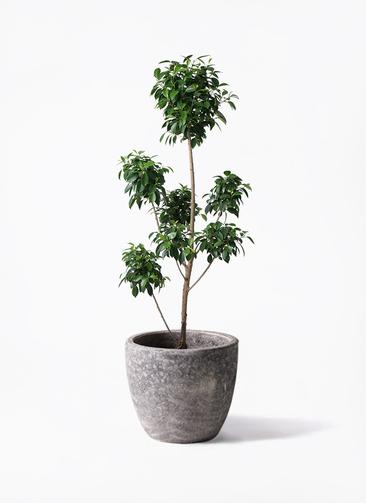 観葉植物 フィカス ナナ 7号 ボサチラシ アビスソニアミドル 灰 付き