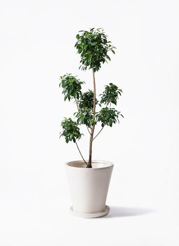 観葉植物 フィカス ナナ 7号 ボサチラシ サブリナ 白 付き