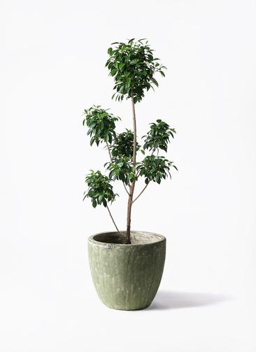 観葉植物 フィカス ナナ 7号 ボサチラシ アビスソニアミドル 緑 付き