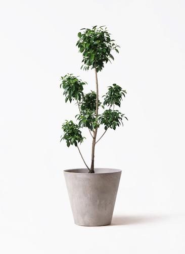 観葉植物 フィカス ナナ 7号 ボサチラシ アートストーン ラウンド グレー 付き
