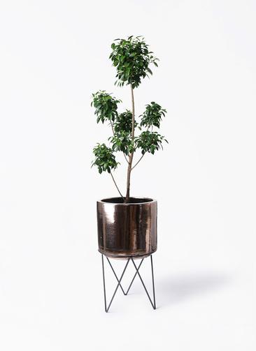 観葉植物 フィカス ナナ 7号 ボサチラシ ビトロ エンデカ ゴールド アイアンポットスタンド ブラック 付き