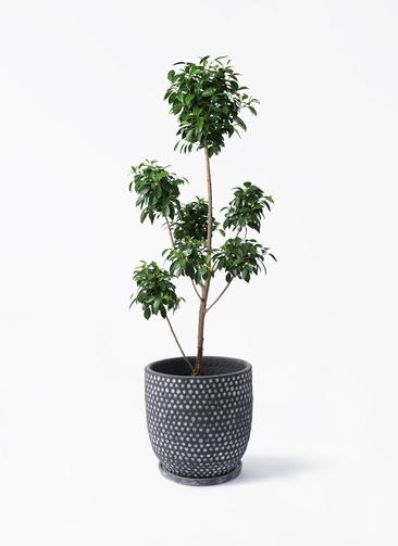 観葉植物 フィカス ナナ 7号 ボサチラシ ハイブミドル ブラック 付き