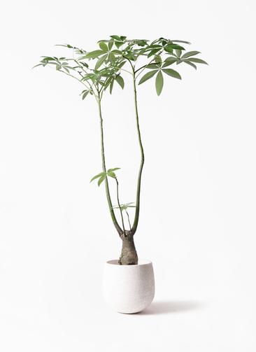 観葉植物 パキラ 8号 パラソル エコストーンwhite 付き