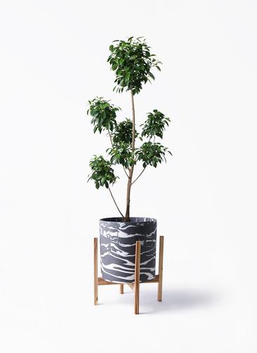 観葉植物 フィカス ナナ 7号 ボサチラシ ホルスト シリンダー マーブル ウッドポットスタンド付き