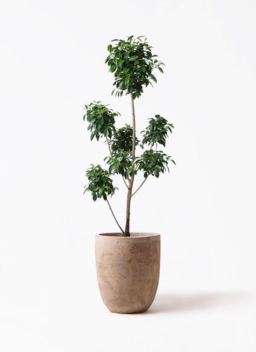 観葉植物 フィカス ナナ 7号 ボサチラシ ルーガ アンティコ アルトエッグ 付き